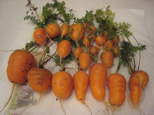 The fabulous golf ball carrots from farmer bunny's wheelbarrow.