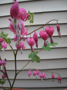 Bleeding Heart blooming in my garden today after surviving this weekend's thunder, rain and wind storms.