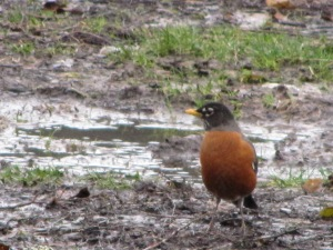 Robin looking for crickets by a mud puddle across from my front porch. Pretty bird!