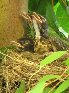 Baby robins waiting for snacks.