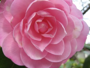 How is this for a perfect pink camellia blossom?