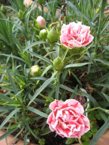 The perfect pink carnations for Spring!