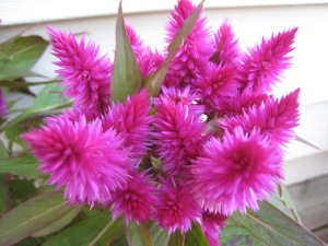 Gift plant from my Mom when I was under the weather. LOVE the color of the blooms. Must get more potting soil....