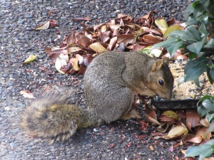 Notice how dainty and well-mannered Mr. Squirrel is while he scarfs up all the purloined bird food.