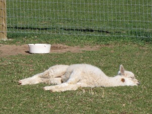 How cute is this sleeping baby alpaca in the sun? Cuddles!