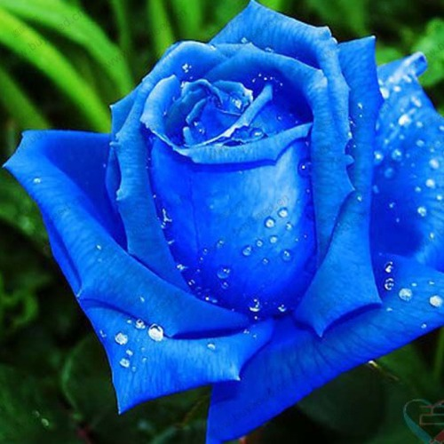 -font-b-Rose-b-font-Seeds-Flower-Seeds-Potted-Balcony-Blue-font-b-Rose-b